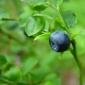 Ameliorarea diabetului prin plante