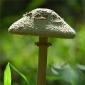 Ciuperci uscate