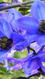 Comentariu- Floare Albastra