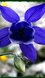 Comentariu - Floare albastra