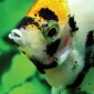Cresterea pestilor in acvarii