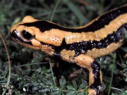 Cresterea salamandrelor
