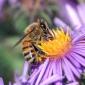 Intepaturile de albine si viespi