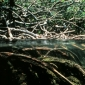 Mangrovele