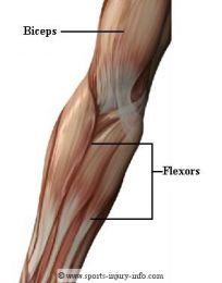 Muschii articulatiei cotului