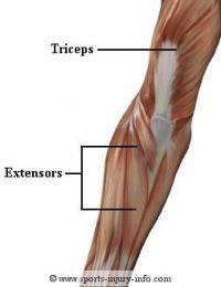 Muschii ce realizeaza miscarea de flexie-extensie