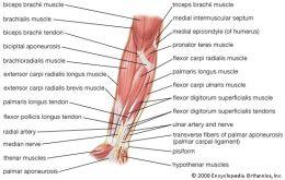 Muschii miscarilor de pronatie-supinatie