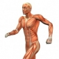 Musculatura mainii