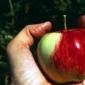 Pastrarea merelor