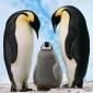Pinguinii Imperiali