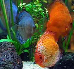 Popularea acvariilor cu pesti