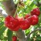 Pregatirea fructelor pentru iarna