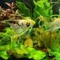 Sadirea si intretinerea vegetatiei in acvarii